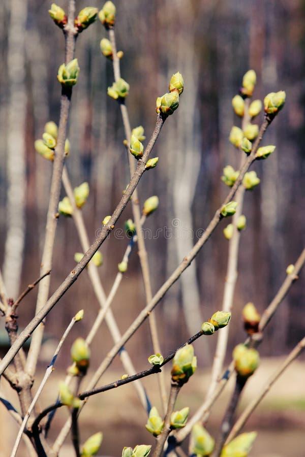 绿色春天芽 免版税库存照片