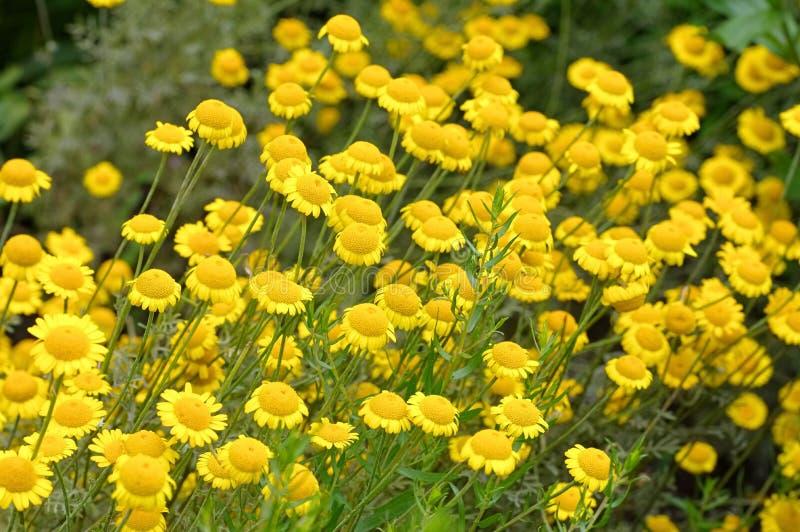 黄色春黄菊,野花 免版税库存图片