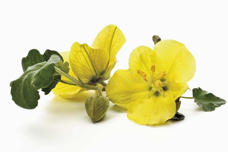 黄色晚樱草 库存照片