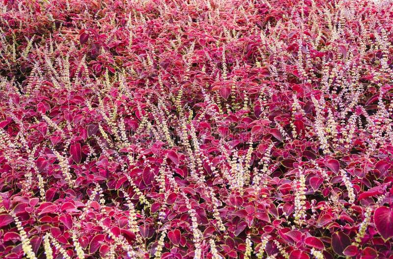 紫色有叶的花的领域 免版税库存图片