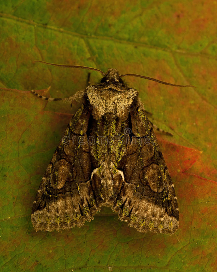 绿色有斑月牙, Allophyes oxyacanthae 免版税库存图片