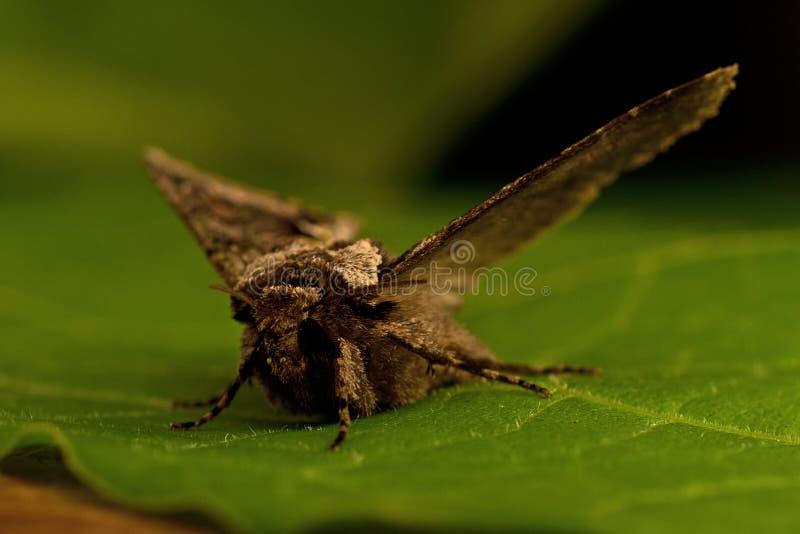 绿色有斑月牙, Allophyes oxyacanthae 免版税库存照片