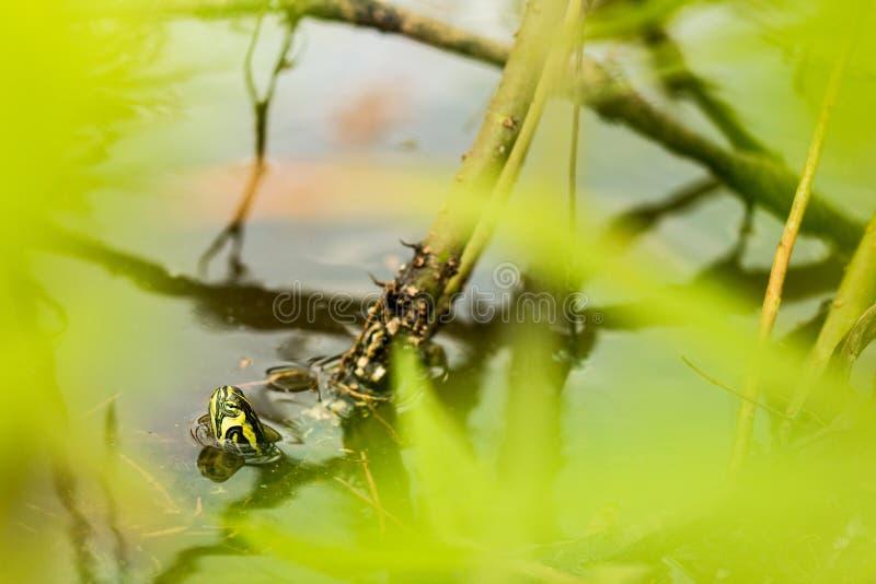 黄色有耳的滑子乌龟戳他的头从一个镇静湖 图库摄影