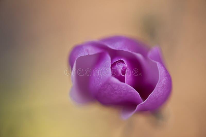 紫色木兰 库存图片