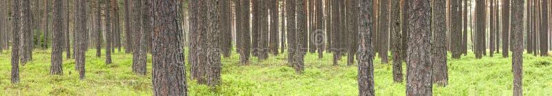 绿色杉树森林在夏天 库存照片