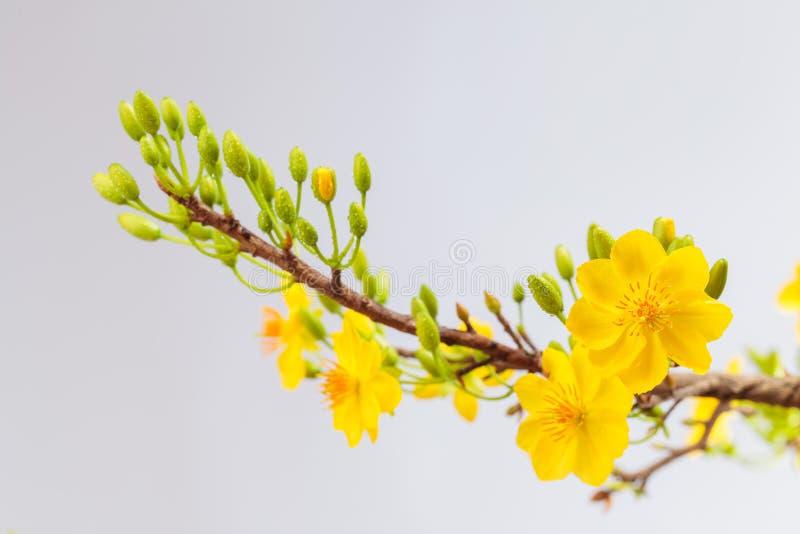 黄色杏子开花特写镜头(Hoa mai) 免版税库存照片