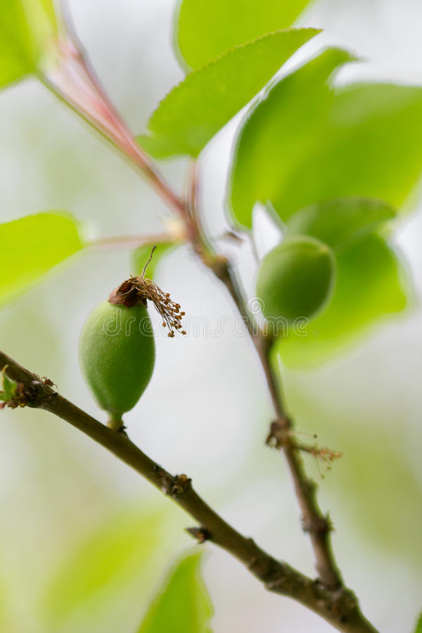 绿色杏子 免版税图库摄影
