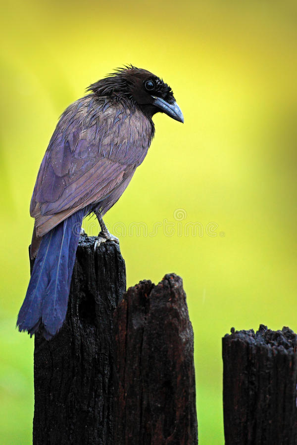紫色杰伊, Cyanocorax cyanomelas,蓝色anf黑色鸟有清楚的绿色黄色背景,潘塔纳尔湿地,巴西 库存图片