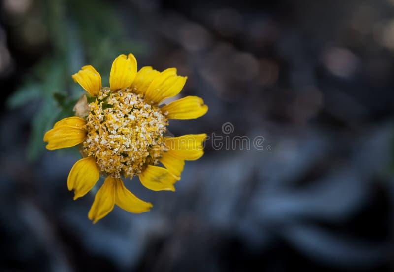 黄色枯萎了延命菊花 库存照片