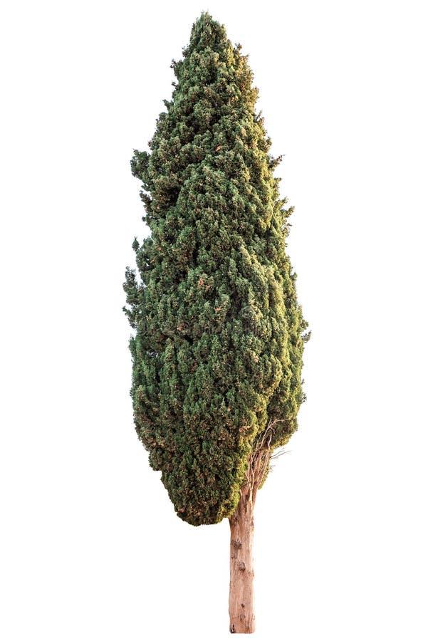 绿色柏树 免版税库存照片