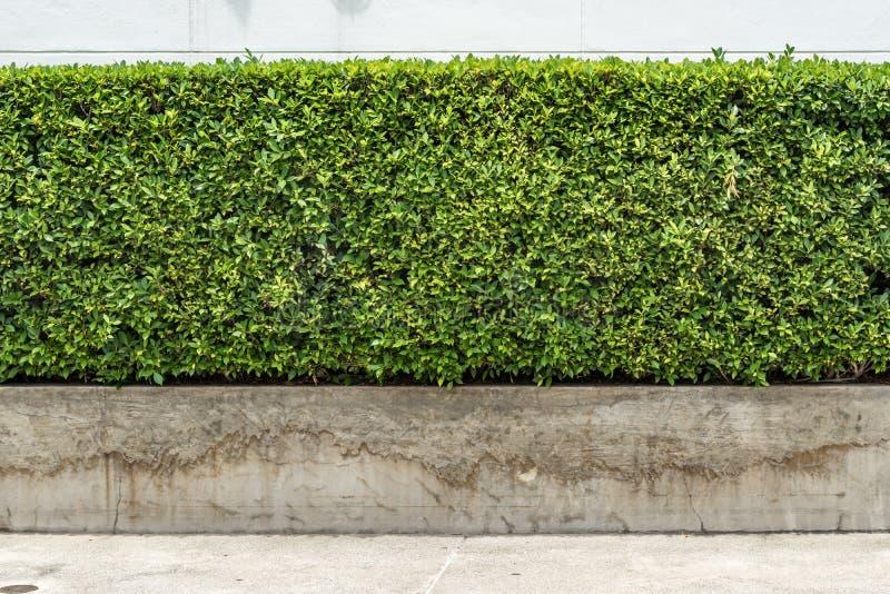 绿色树篱篱芭 库存图片