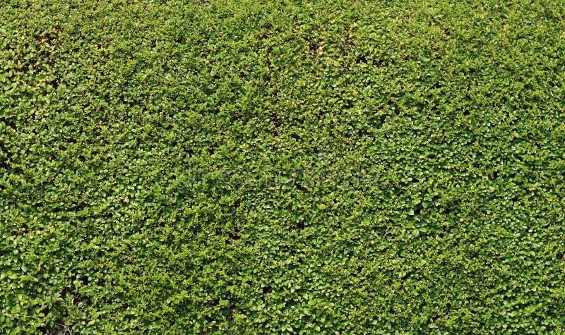绿色树篱纹理/背景 库存图片