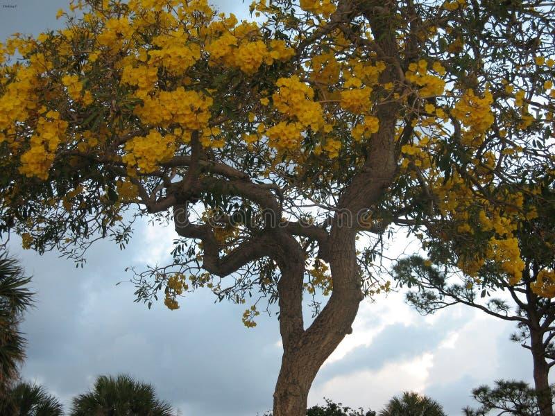 黄色树荫  库存照片