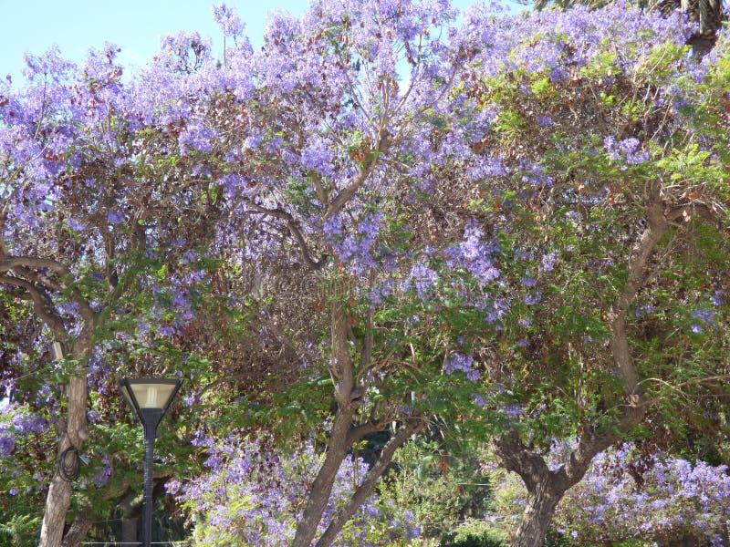 紫色树Ovalle,智利 库存照片