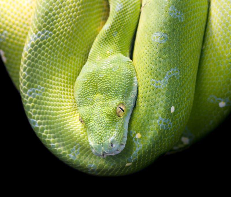绿色树Python 免版税图库摄影