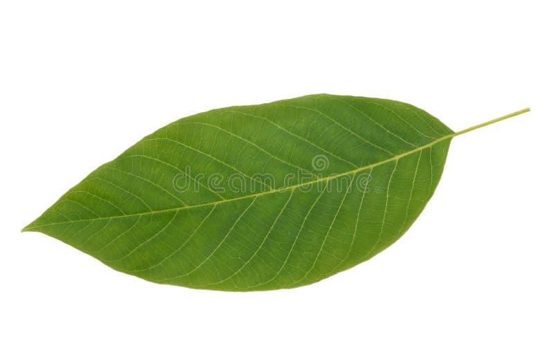 绿色核桃叶子 免版税库存图片