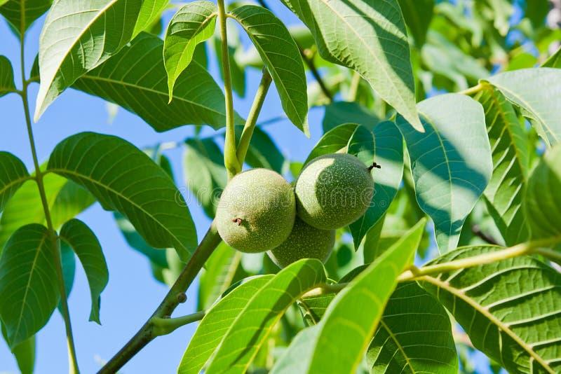 绿色核桃在树增长 库存照片