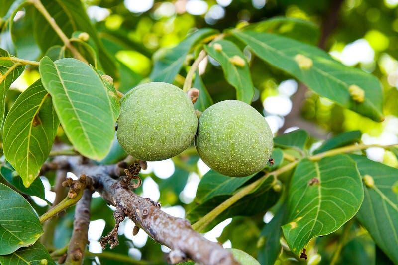 绿色核桃在树增长 免版税库存照片
