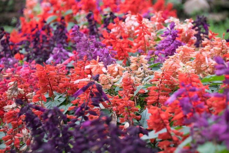 紫色桃红色和橙色salvia开花自然摘要开花 库存照片