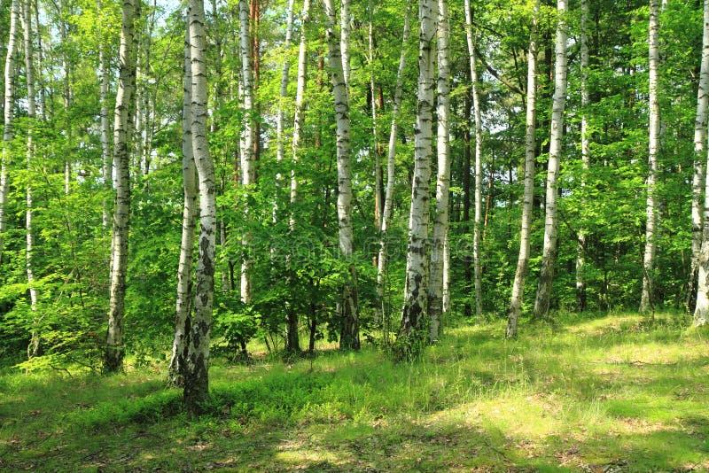 绿色桦树森林 库存照片