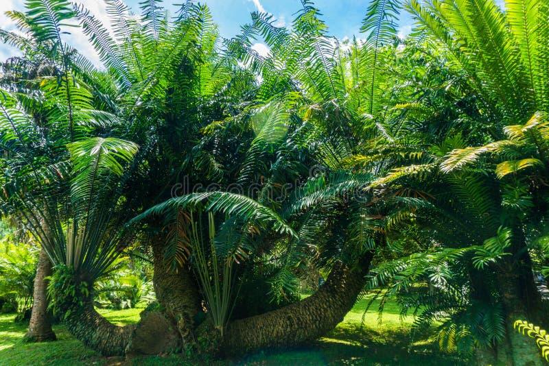 绿色棕榈树凹线在被拍的风景照片在Kebun Raya茂物印度尼西亚 免版税库存照片