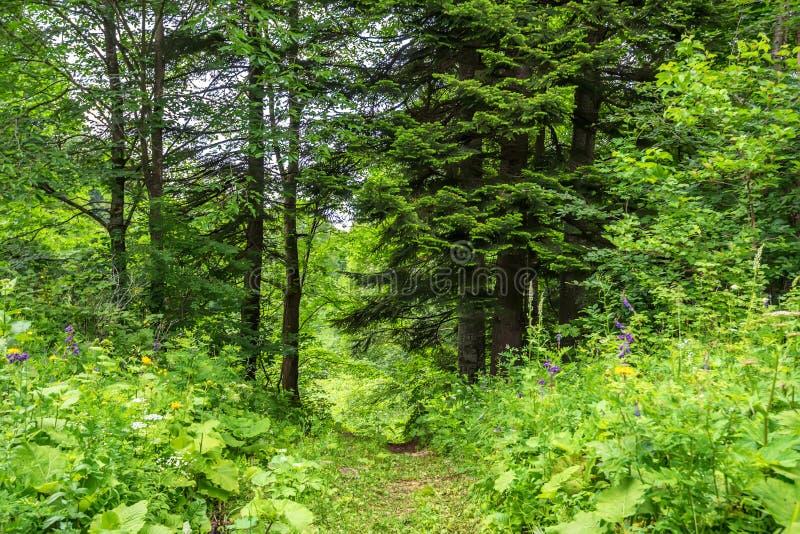 绿色森林丛林风景全景在夏天图片