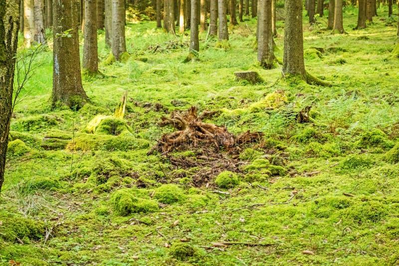 Download 绿色森林地板 库存照片. 图片 包括有 叶子, 地衣, 设计, 森林, 靠山, 本质, 环境, beautifuler - 72356270