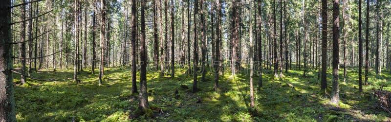 绿色森林大全景在夏天 库存照片