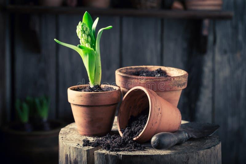 年轻绿色植物和老红土罐 免版税库存图片