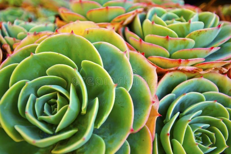 绿色植物多汁植物 免版税库存照片