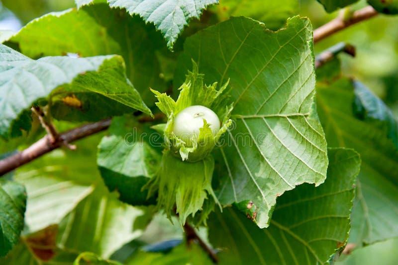 绿色榛子在树增长 库存照片
