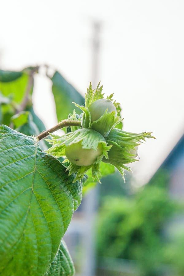 绿色榛子在树增长 免版税库存照片