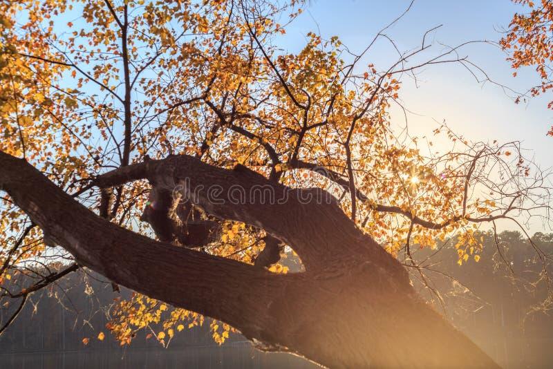 黄色槭树在罗利的, NC湖约翰逊离开 免版税库存照片