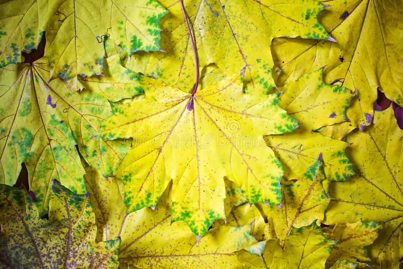 黄色槭树背景离开,秋天抽象,墙纸 免版税库存图片
