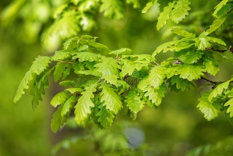 绿色橡木离开(栎属petraea) 库存照片
