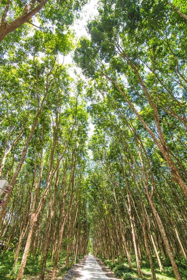 绿色橡胶树背景  图库摄影