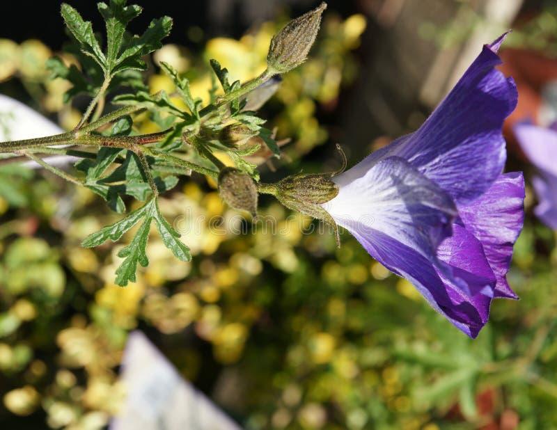 紫色欢欣淡紫色木槿, Alyogyne huegelii 'Monle' 免版税图库摄影