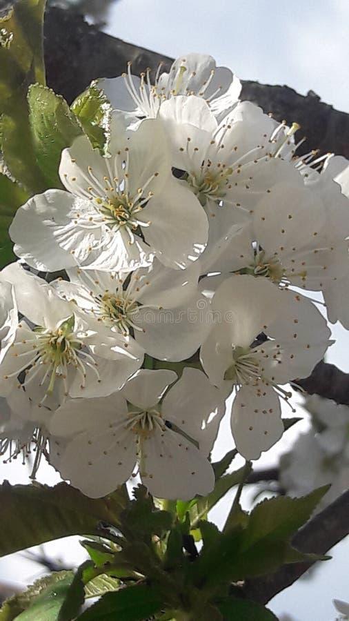 黄色欧亚山茱萸花 免版税库存照片