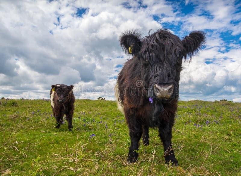 黑色母牛种田英国waltshire白色 免版税图库摄影