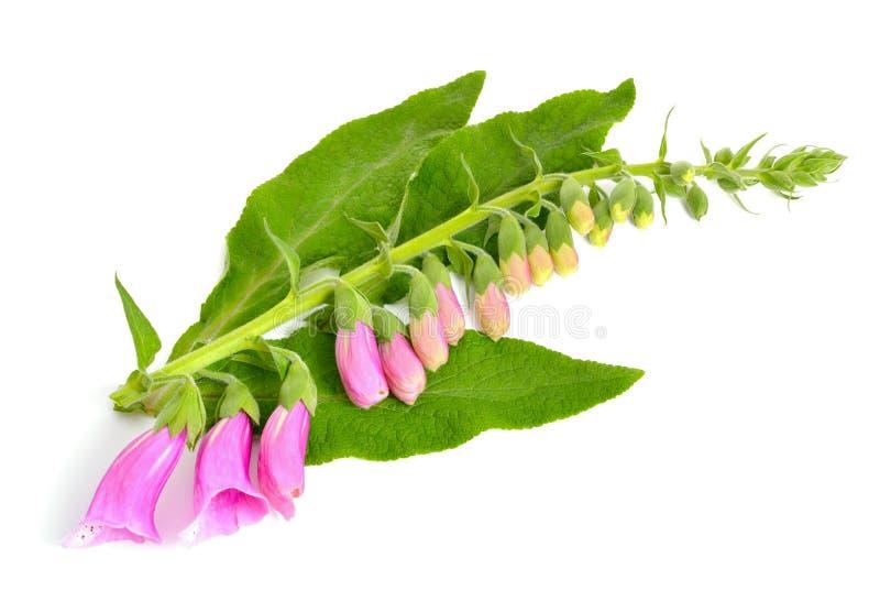 紫色毛地黄属植物 库存照片