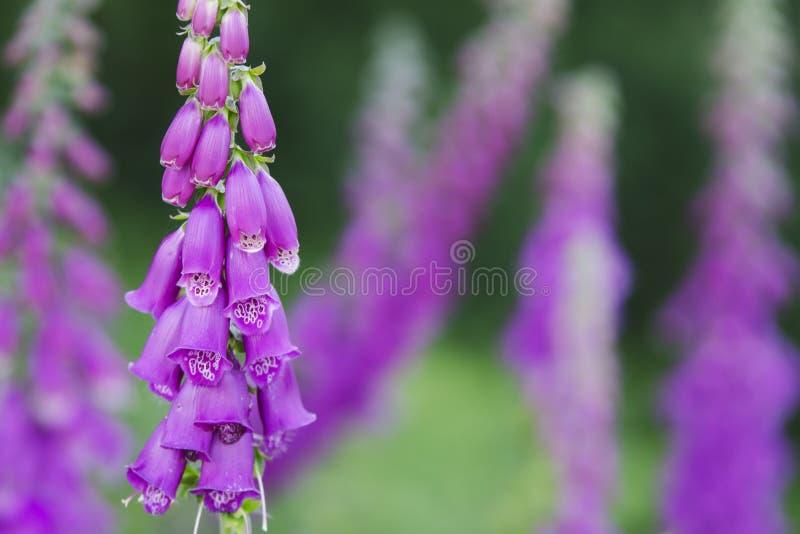 紫色毛地黄属植物 免版税库存图片
