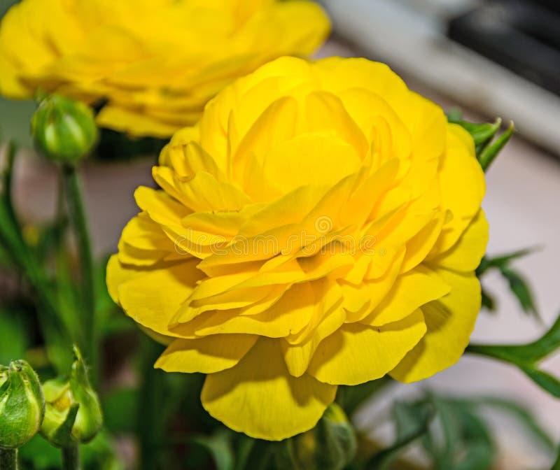 黄色毛茛属花,毛莨科家庭 库存照片