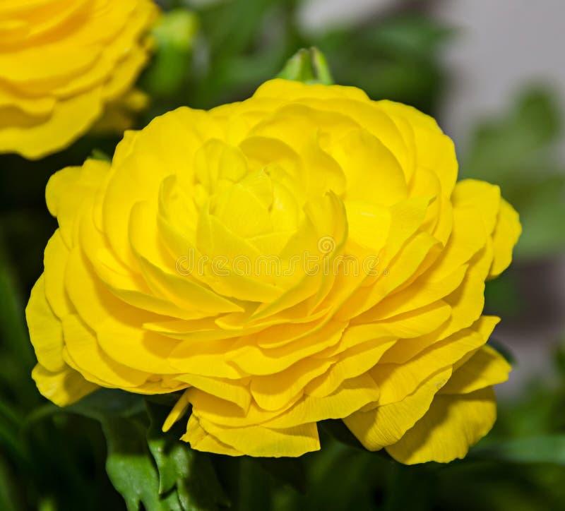 黄色毛茛属花,毛莨科家庭 免版税图库摄影