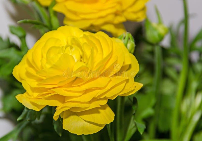 黄色毛茛属花,毛莨科家庭 图库摄影