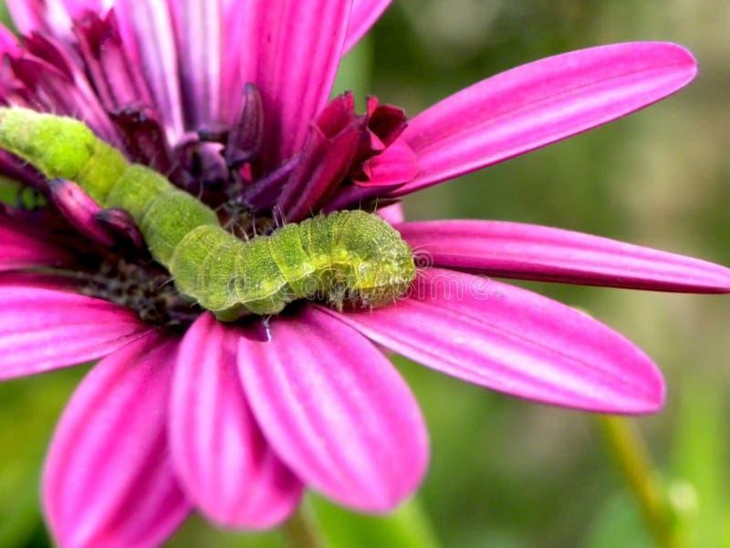 绿色毛虫2 免版税库存图片