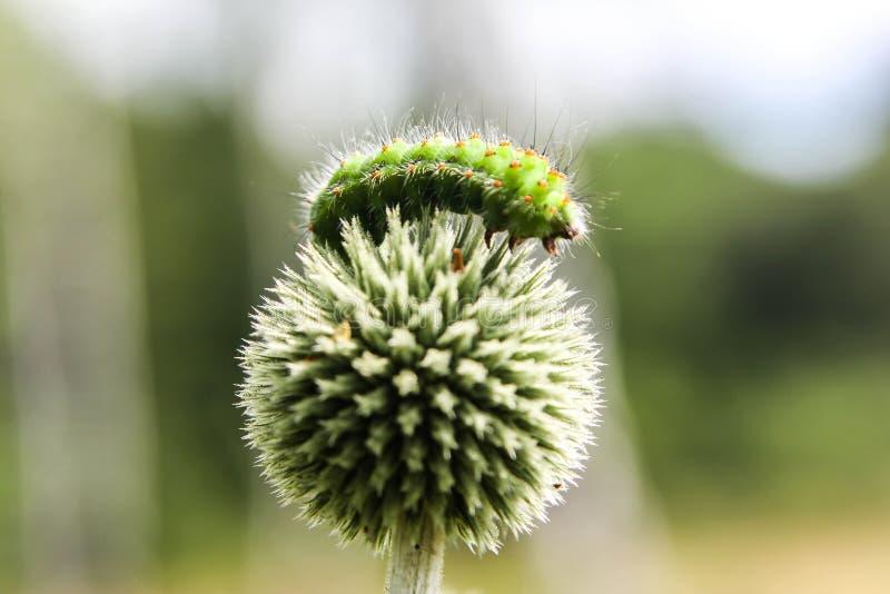 绿色毛虫 免版税库存图片