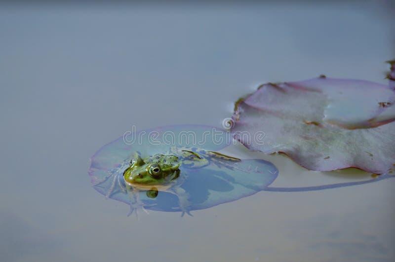 绿色池塘青蛙 库存照片
