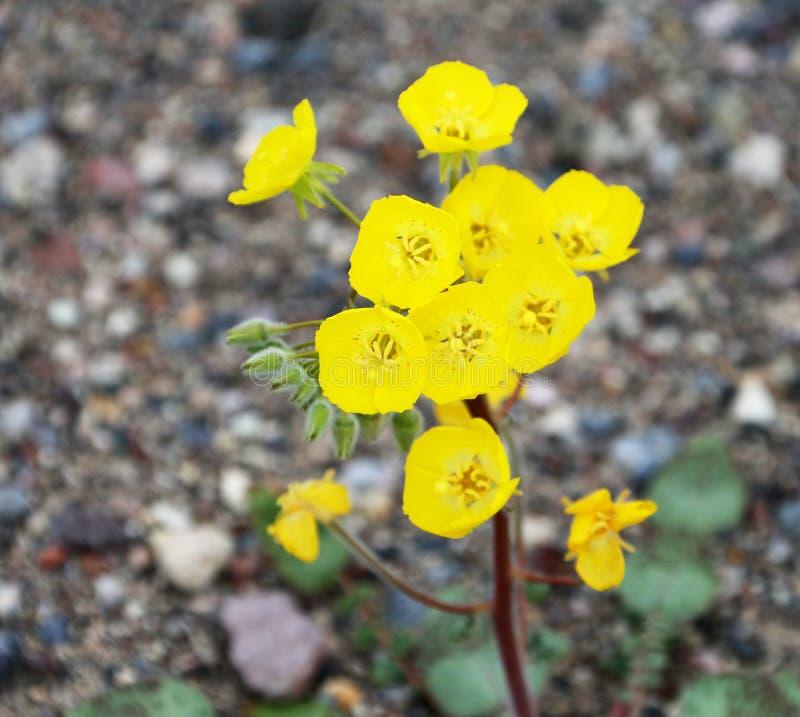 黄色沙漠野花金黄晚樱草Camissonia brevipes 免版税库存图片