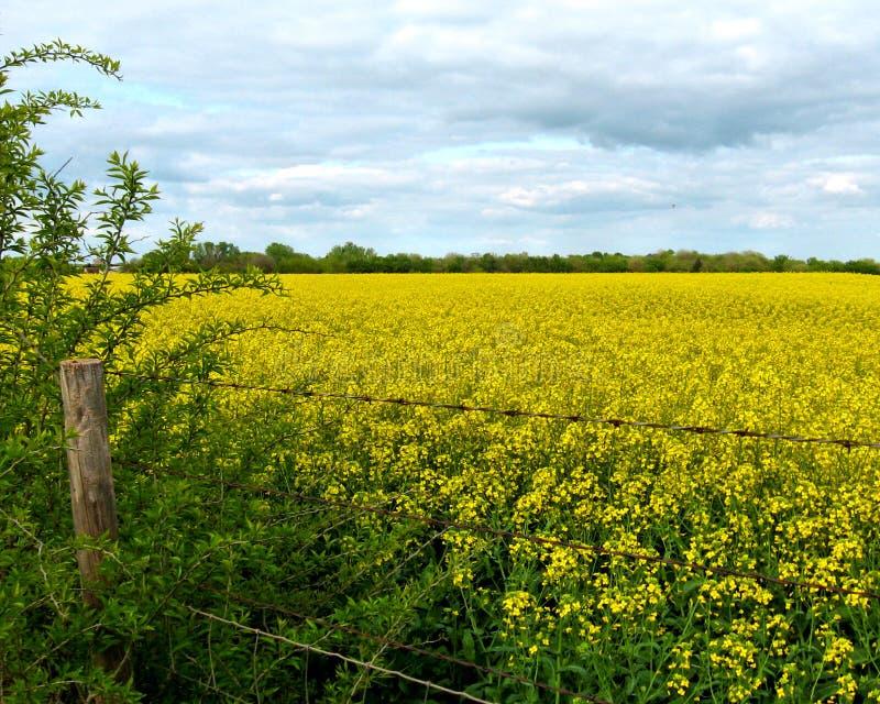 黄色油菜的领域与铁丝网篱芭和多云天空的 免版税库存图片