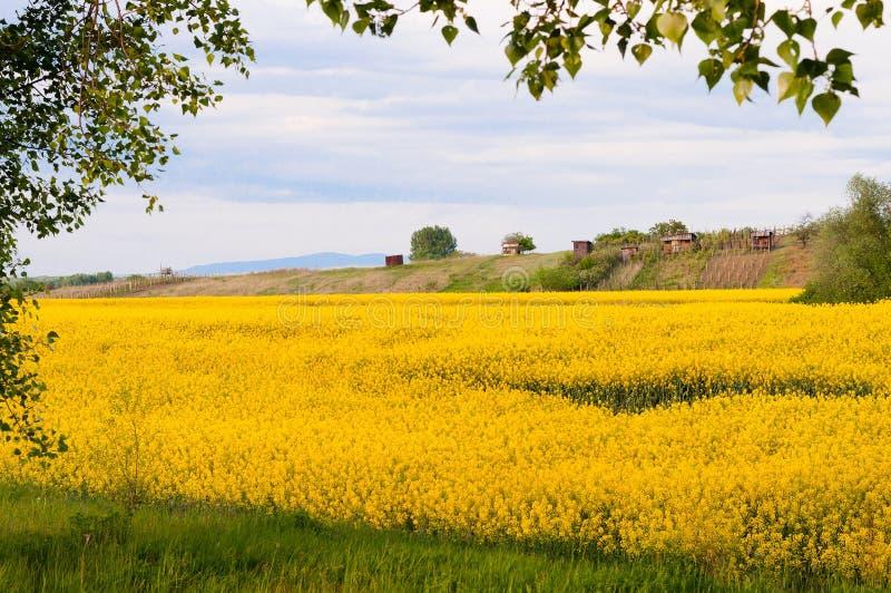 黄色油菜领域在春天 免版税图库摄影